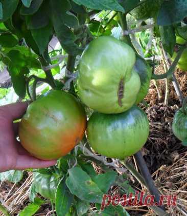 Выращивание помидоров по два корня в лунке   6 соток
