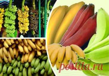 Бананы: польза и вред, калорийность, состав ягоды