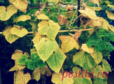 Пожелтела листва огурцов? Вам помогут 3 деревенских метода наших бабушек! | Твоя Дача | Яндекс Дзен