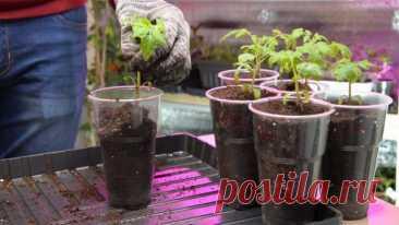 Рассада томатов — пикируем и рассаживаем правильно. Видео — Ботаничка.ru