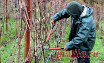 Как правильно обрезать виноград – подробная инструкция для новичков Правильная обрезка винограда – залог нормального роста и хорошего урожая. Некоторые начинающие садоводы не знают, как подступиться к этому важному процессу, но пришло время это исправить. Раз вы читае...