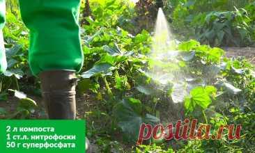 Чем подкормить огурцы Вряд ли кто-то из огородников выращивает огурцы для красоты. Каждый заботится о том, чтобы получить хорошие, вкусные зеленцы. Для этого важно учитывать многие факторы: сроки посадки, грунт, температур...