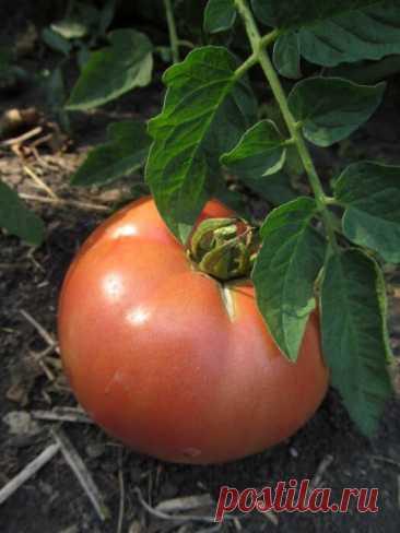 Обрываем листья на томатах: сколько листьев нужно помидорам и как не оборвать лишнее. Просто о сложном | 6 соток