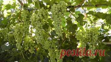 Как вырастить виноград, если вы раньше никогда этого не делали?