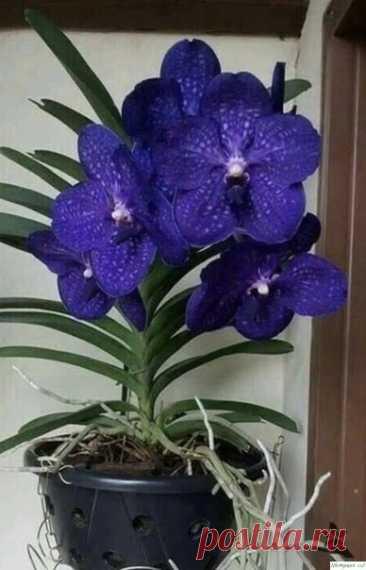 Перекись водорода — лучшее удобрение для орхидей!