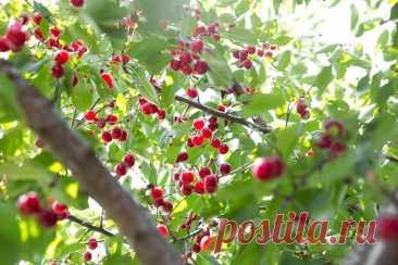 Подкормка вишни весной и осенью: схемы подкормок, правила ухода, типы удобрений