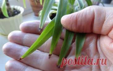 Почему у домашних цветов чернеют кончики листьев? Причины и пути спасения комнатных растений   Рекомендательная система Пульс Mail.ru