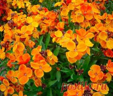 Хейрантус (Лакфиоль): посадка и уход в открытом грунте, выращивание из семян