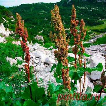 Лекарственное растение Ревень альпийский (Rumex alpinus). Многолетнее травянистое растение; на плодородной земле может достигать высоты человеческого роста. Нижние сердцевидные листья могут достигать длины 50 см и ширины 25 см, длинные черешки листьев выходят из бумажистых листовых влагалищ; стеблевые листья очередные, ланцетные, черешки часто красноватые и с наружной стороны рифленые. Края листьев волнистые. Невзрачные зеленоватые цветки собраны в длинную довольно плотную метелку.
