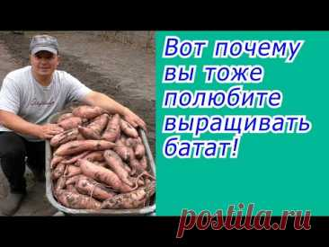 Батат это нам не картофель! Это намного проще и выгодней!