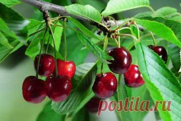 Черешня: секреты посадки и ухода Черешня - одна из самых популярных ягод, которые можно выращивать в саду. В нашей статье речь пойдет о секретах посадки и правилах ухода за саженцем черешни.