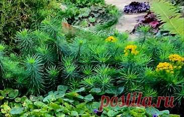 Красивейшие агрессоры в саду - великолепные почвопокровные! | Цветущий мир | Яндекс Дзен
