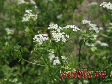 Кервель – трава для гурманов Кервель — однолетнее растение семейства зонтичных. В народе он известен как морковник,... Читай дальше на сайте. Жми подробнее ➡