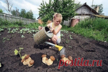 """#ОвощеводствоПарники  Как сеять грибы  Готовится грибная """"рассада"""" - просто. Берётся шляпка уже перезревшего гриба (белый или подберезовик). Перемалывается на обычной ручной мясорубке. Кладётся в бутыль с водой. Дальше идёт способ """"пробуждения"""" спор грибов. """"Чтобы пробудиться споре в природе - ей нужно пройти по кишечнику зайчика или ежика. Какая там на эту спору воздействует среда в этом кишечнике? Крайне агрессивная по отношению к пище - она, эта среда, пищу эту расщепля..."""