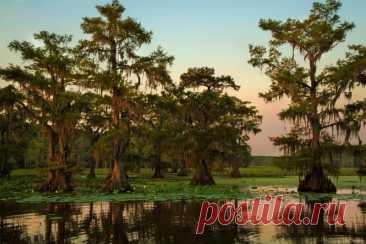 Удивительные кипарисы озера Каддо Озеро Каддо – крупное озеро в США, лежащее на востоке Техаса, на границе с Луизианой. Это охраняемая территория, на которой произрастают самые большие кипарисовые леса на планете. Площадь озера – около 106 квадратных километров. В начале девятнадцатого века на реке Ред Ривер возник затор из речного мусора и брёвен. Бобры, проживающие на берегах реки, укрепили этот затор своими плотинами. Так образовалась запруда, которая перекрыла движение...