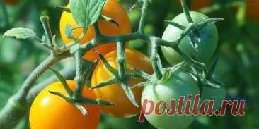 Йодная молочная сыворотка для обработки томатов от фитофторы...