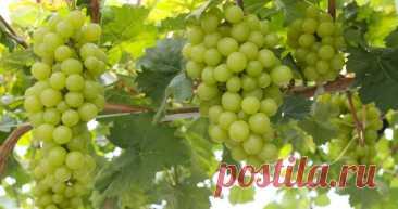 Как правильно укрыть виноград на зиму — способы, проверенные годами | Идеальный огород | Яндекс Дзен