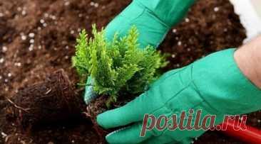 Посадка туи осенью: 5 полезных подсказок чтобы растение прижилось и перезимовало.