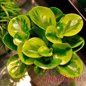 """Комнатное растение Пеперомия (Peperomia). Пеперомия - огромный род, включающий около 1000 видов растений. Название рода указывает на сходство с перцем: в переводе с греческого peperi - """"перец"""", homoios - """"подобный"""". Не случайно пеперомии относятся к семейству Перечные. Пеперомии - компактные растения, поэтому в комнатном цветоводстве их используют для заполнения небольших объемов при украшении интерьеров. Характерный признак пеперомии - похожие на изогнутые хвостики соцветия."""