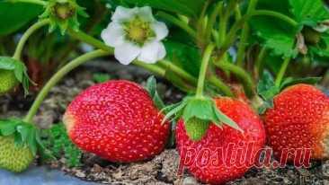 Подкормка клубники во время цветения борной кислотой Клубника — царица ягод, настоящая королева вкуса, аромат которой не оставляет равнодушными ни детей, ни взрослых. Это не только отличное лакомство, но и прекрасное лекарство, которое дала сама природа...