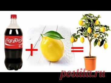 надежный трюк по умножению лимона
