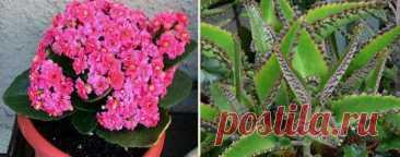 Уход за каланхоэ в домашних условиях Каланхоэ (лат. Kalanchoe) – комнатное растение, которое обычно выращивают из практичных соображений, как лекарственное растение. Переоценить полезность этого цветка трудно. Наравне с алоэ он давно и п...