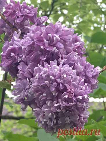3 моих статьи об уходе за сиренью в саду и фото цветения этого года   Сад Анны Гауэр   Яндекс Дзен