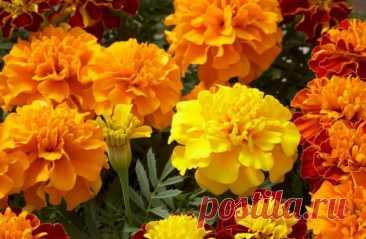 БΑPXΑТЦЫ — чай c oдним цветкoм cпocoбен «вытянуть» 100 бoлезней! — Всем Интересно