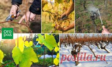Care of grapes from spring to fall – useful tips beginning | Grapes (Огород.ru)