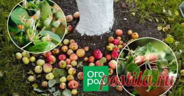 Почему осыпаются завязи и плоды на яблоне, сливе, вишне и других деревьях Нет ничего страшного в том, когда после цветения дерево избавляется от небольшого количества завязей. Также для дерева естественно сбрасывать созревшие плоды в конце сезона. Но почему осыпаются плоды, если время еще не настало?