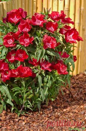 Красавица-годеция: выращивание из семян в домашних условиях   6 соток
