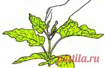 Пасынкование баклажанов или как правильно сформировать кусты Нередко баклажаны в числе самых любимых овощей и для того чтобы получить достойный урожай недостаточно просто приобрести семена, важно правильно посадить баклажаны и за ними ухаживать. Формирование куста баклажанов позволяет увеличить урожайность, максимально завязывать плоды. Цветкам нужно много солнечного света, а полив, подкормки и другие средства ухода не могут дать этого, вот на помощь и […]
