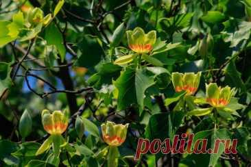 Как выращивать в саду тюльпановое дерево? Виды и сорта. Фото — Ботаничка.ru