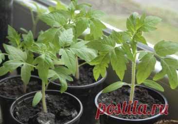 Чем подкормить рассаду помидор чтобы были толстенькие Каждый овощевод, который сам выращивает рассаду, хочет, чтобы она была невысокой, с толстыми стеблями и мощными зелеными листьями. Именно такие растения лучше всего приживаются и потом быстро идут в р...