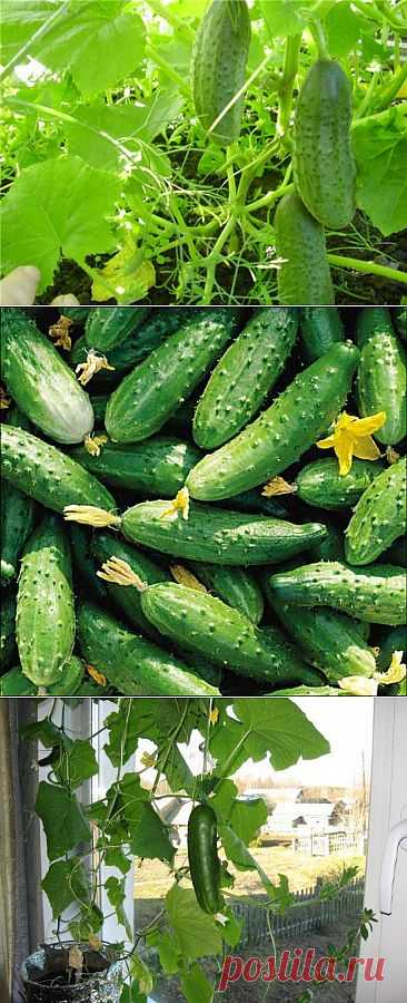 Secrets of cultivation of cucumbers.