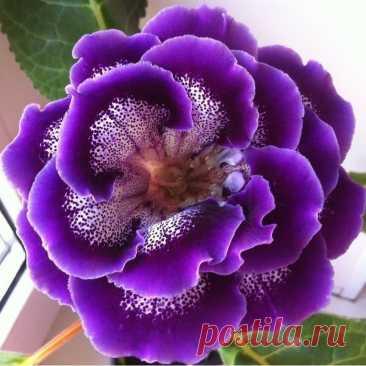 Глоксиния — для начинающих Глоксиния — многолетнее клубневое растение, листья овальные, размером с ладонь, цветки похожи на большие колокольчики (der Gloke — колокольчик), окраска очень разнообразная, кроме жёлтой, есть двухцветные и даже многоцветные сорта; цветёт с весны до осени, одновременно бывают раскрытыми...