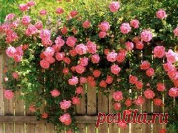Как ухаживать за розами летом? Самыми красивыми и благородными цветами с давних времен считаются именно розы. Их королевский вид в саду придает особенный уют и комфорт. Однако, для правильного развития таких культур необходимо соблюдать массу правил и нюансов. Наиболее тщательного ухода любые сорта роз требуют именно в...