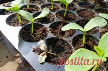 Здоровая рассада. Какихошибок нужно избегать при выращивании Получить качественную, здоровую рассаду овощей или цветов можно, если не допускать распространённых ошибок при выращивании.