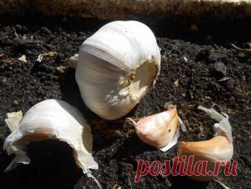 Почему необходимо отбирать для посадки озимого чеснока крупные зубки? Под зиму чеснок сажают многие дачники и владельцы фермерских хозяйств. Одним из важных моментов для получения обильного урожая культуры является отбор здорового посадочного материала. Приобретая луковицы понравившегося сорта чеснока у проверенных производителей сельскохозяйственной продукции, вы