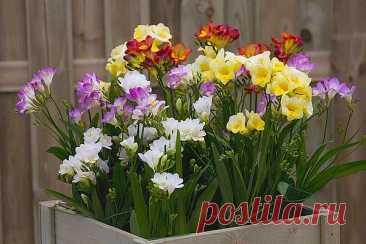 Фрезия: выращивание и уход в домашних условиях Фрезия - популярный красивый цветок в основном для открытого грунта. Но в домашних условиях фрезию также можно вырастить, если правильно за ней ухаживать.