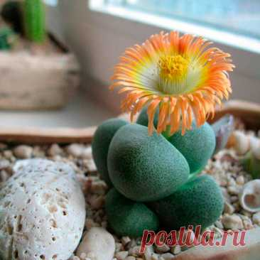 """Комнатное растение Плейоспилос (Pleiospilos). Как и литопсы, плейоспилосы относятся к так называемым """"живым камням"""", произрастающим в Капской провинции на Юге Африки. Род включает в себя около 30 видов растений. Каждое растение имеет 1-2 или 3-4 пары мясистых листьев, между которыми раз в году появляется цветок. У плейоспилоса Болуса (Pleiospilos bolusii) листья красновато-коричневого цвета, с многочисленными прозрачными точками."""