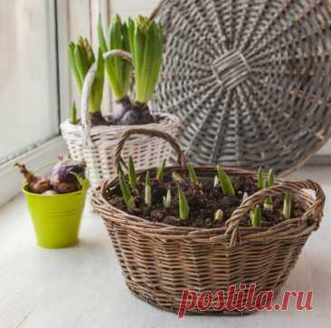 Правила выгонки тюльпанов: как получить цветущее растение к определенной дате Выгонка тюльпанов — ряд мер, направленных на стимуляцию растения зацвести к определенному... Читай дальше на сайте. Жми подробнее ➡