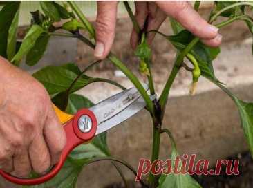 Простой агротехнический прием для перца: плоды будут расти пучками   Наша Дача   Яндекс Дзен