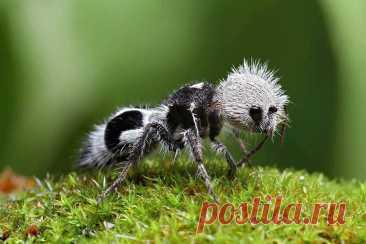 Муравей-панда - удивительное насекомое нашей планеты » Женский Мир