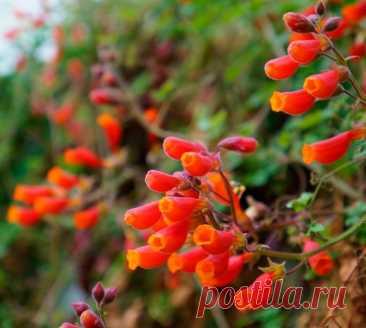 Вислоплодник: выращивание из семян, посадка и уход, размножение