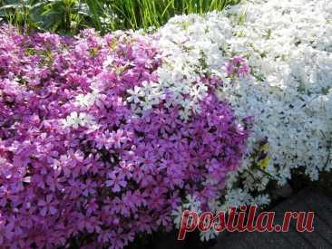 Цветущий ковер в Вашем саду   ЗЕЛЕНЫЙ МИР С ЕЛЕНОЙ   Яндекс Дзен