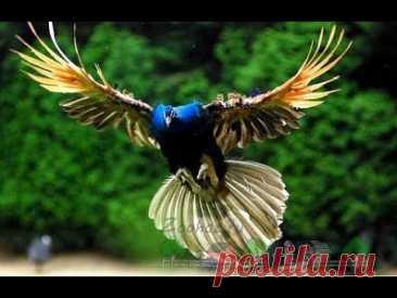 Полет павлина ! Потрясающее зрелище !!!
