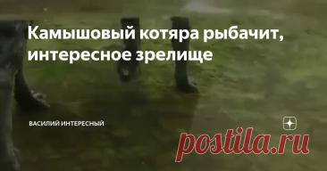 Камышовый котяра рыбачит, интересное зрелище
