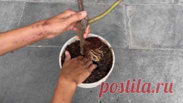 Новый способ укоренения розы без черенкования и лишних хлопот / Домоседы
