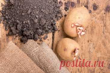 Своя картошка уже в июне: секреты раннего урожая   Картофель (Огород.ru)
